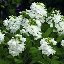 50+ White Night Scented Stock Flower Seeds / Matthiola / Annual