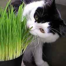 1Kg Sussex grown sweet Oat Grass seeds for Cats and other Pets