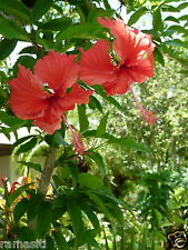 Hibiscus Archeri 3+Cuttings-Rosa Senisis-Showering Red Flowers,Tall Tree Variety