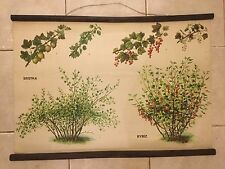 Original vintage zoological pull down school chart of Gooseberry, Redcurrant
