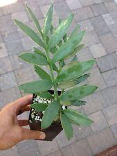 Encephalartos Arenarius TRUE BLUE FORM 3 Leaves UNIQUE Ice Blue Cycad Nursery