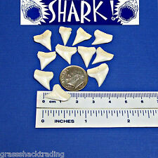 Wholesale 50 Pc Lots 14-16mm White Sharks Teeth FREE STICKER Shark Jaw Tooth