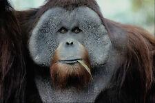 438068 Orangutan San Diego Zoo A4 Photo Print