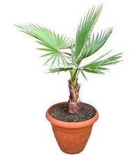 Fan Palm - Washingtonia robusta - fresh fast grow x 12 seeds + bonus!