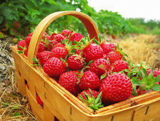 50 Eclair Strawberry Plants- Extra Sweet & Fragrant Berries Exceptional Flavor