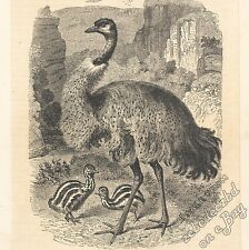 Emu & Juveniles (titled Cassowary): antique 1866 engraving print - bird, picture