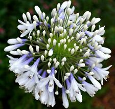 QUEEN MUM Agapanthus orientalis white blue flowering strappy plant in 140mm pot