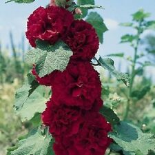 Hollyhock Seeds Chater Maroon 50 Holly Hock Seeds ( Perennial )