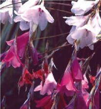 FLOWER - DIERAMA SPECIES - 60 SEEDS - LARGE PACKET