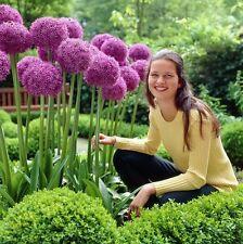 30 NEW Seeds Purple Giant Allium Giganteum - plant flowers - Ornamental Onion