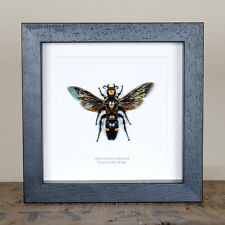 Giant Scoliid Wasp (XL) in Box Frame (Megascolia Procer) Insect Taxidermy