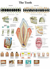 A3 Medical Poster - The Human Teeth (Text Book Anatomy Pathology Doctor Dentist)