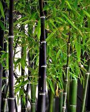 20 X BAMBOO SEMI. Phyllostachys Nigra. NERO Bamboo.