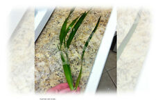 JUNGLE VALLISNERIA LIVE AQUARIUM BACKGROUND PLANT X 5