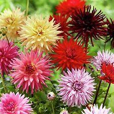 Dahlia Cactus Mix Flower Seeds (Dahlia Variabilis) 30+Seeds
