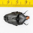 BEETLE - Cetoniidae - Campsiura insignis - THAILAND - 2973
