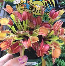 "VENUS FLY TRAP Dionaea muscipula ""FANG"" carnivorous plant in 100mm pot"