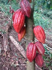 3-4+ ft ~ HUGE~ CRIOLLO~ RED Theobroma Cacao~ Chocolate tree ~ Fruit Tree rooted