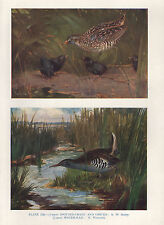 VINTAGE BIRD PRINT ~ SPOTTED CRAKE & CHICKS ~ WATER RAIL