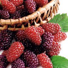 Himbeere - Buckingham Tayberry , Dornenlose , Brombeere / Himbeere , Kreuzung
