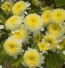 Tanacetum Parthenium Santana Amarillo - 50 Semillas