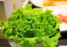 Thai Green Lettuce 3000 Seeds Vegetable Lactuca Sataiva Salad