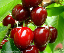 Live Sweet Cherry Fruit Plant Barbados cherry Malpighia emarginata Plant in Pot