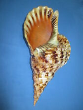HUGE Charonia tritonis- Tritons Trumpet, 375mm length( 14.7 inch) color/pattern