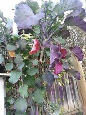 ( 4)7-8 inch cuttings of Purple tree Collard for $10s/h +2Bonus Extra Cuttings!