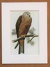 John Gould - 1970s Vintage Mounted Colour Bird Print - Black Kite (68)