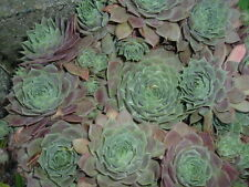 HARDY HENS AND CHICKS SEMPERVIVUM SUCCULENT~5 PLANTS (CHICKS) BARE ROOT SENT