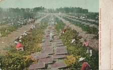 CA * Picking & Drying Raisin Grapes  1909 * Mitchell #783