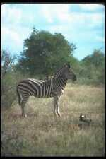 130057 Burchell's Zebra A4 Photo Print
