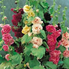 "0.5g (appr. 50) hollyhock ""Summer Carnival Mix"" seeds ALCEA ROSEA double blooms"
