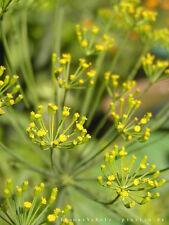 Dill - Blattreicher 1000 Samen  - Anethum graveolens - Küchenkräuter 001375