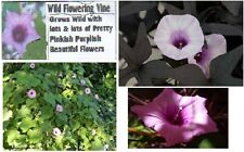 WILD MINI FLOWERING PINK MORNING GLORY VINE + FLAT RATE S/H OF $1.99 UNLIMITED