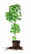 Autumn Blaze Maple, 3-4 ft.