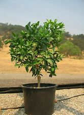 Persian Lime Tree (Everbearing & Cold Hardy)