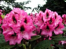 Rhododendron Kokardia -New Variety Evergreen Shrub With Flower Bud -in a 5lt Pit