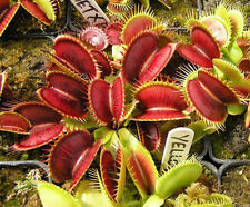 40Pcs Novelty Venus Fly Trap Carnivorous Plant Seeds With Care Instructions HK37