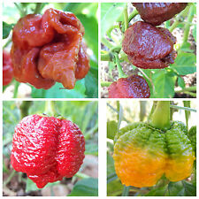 PEPERONCINO TRINIDAD MORUGA SCORPION RED YELLOW CARAMEL CHOCO 40 SEMI OP