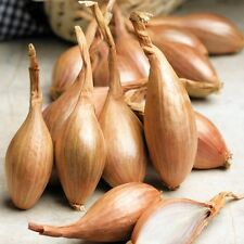 "100  Shallot Seeds ""Zebrune"" - Heirloom shallot from France"