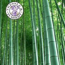 RARE GIANT Phyllostachys PUBESCENS Moso bambù perenne - 5 semi-UK Venditore
