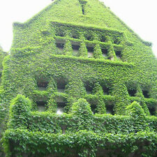 100 pcs Ivy seeds fast growing, for garden and  fence