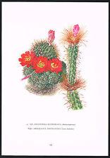1960s Vintage Aylostera Kupperiana & Arrojadoa Cactus Flower Botanical Art Print