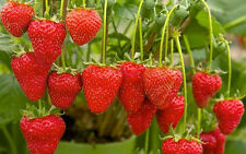 STRAWBERRIES-DELICIOUS-RED 30 FINEST SEEDS-FRUIT GARDEN