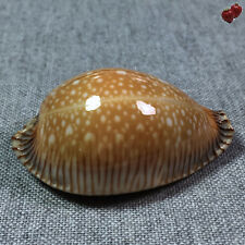 Cypraea guttata surinensis, Andaman Sea, Thailand, 55,3 mm, LARGE, BARGAIN