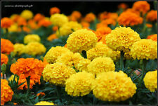 AFRICAN MARIGOLD - CRACKERJACK MIX - 600 seeds - Tagetes erecta - Flower