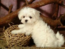 """MALTESE DOG  (Puppy) on ONE 16"""" Square Fabric Panel To Sew.Actual pic is 8""""x10""""."""