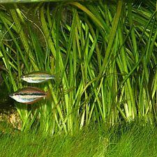 VALLISNERIA GIGANTEA pianta acquatica acquario tropicale e altre piante